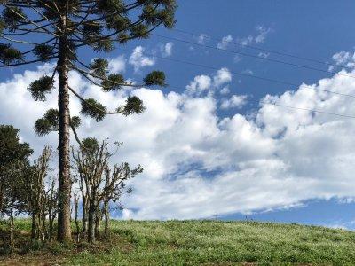 Araucaria 2.jpeg